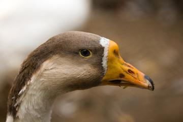 portrait of a goose