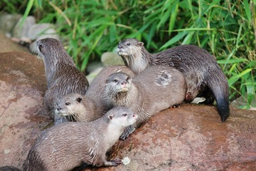 otter family - wet Asian small-clawed otters stock, photo, photograph, image, picture