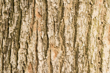 Bark of Elm