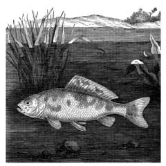 Fish - Cyprin Doré
