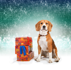 Young beagle with presents christmas background