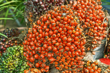 oil palm - African oil palm