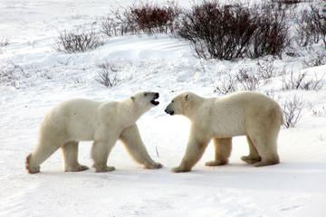 Ours polaire de l'arctique