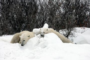 Ours polaires (maman et son petit)