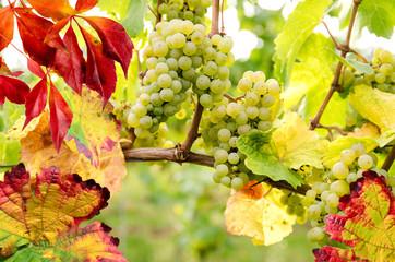 Fototapete - Weinanbau: Riesling-Trauben in der Pfalz
