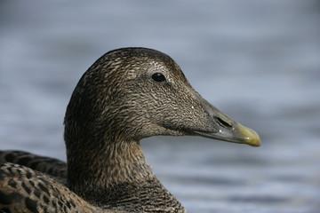 Eider duck, Somateria mollissima
