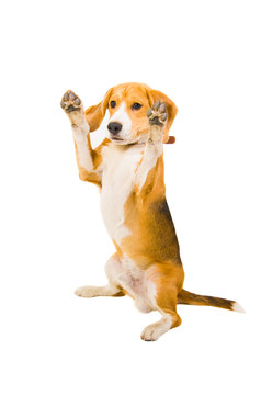 Beagle standing on its hind legs