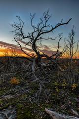 lonley dead tree in the sunset