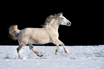 Wall Mural - White horse running in winter in meadow