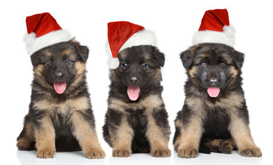 German shepherd puppies in red Santa hat