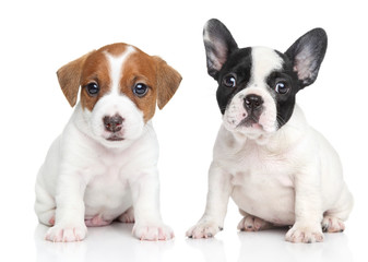 Wall Mural - Jack Russell terrier and french bulldog puppies