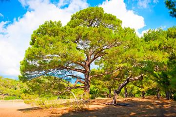 Branchy pine in  forest summer