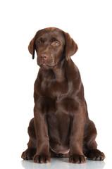 labrador retriever puppy portrait