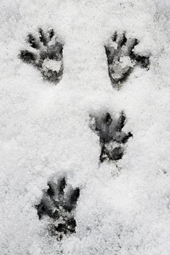 tracce di marmotta nella neve, Alpi italiane