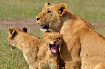 Lion Cub Roars