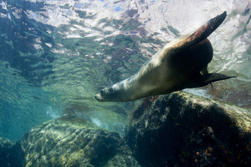 sea lion underwater looking at you
