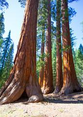 Wall Mural - Sequoias in Mariposa grove at Yosemite National Park