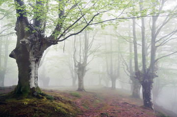 Wall Mural - forest with fog and footpath