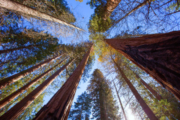 Wall Mural - Sequoias in California view from below