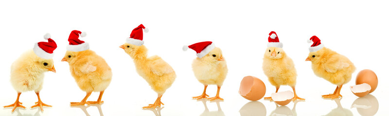 Lots of baby chicken at christmas time