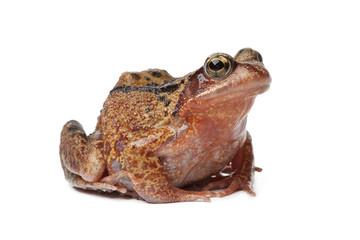 Single brown frog