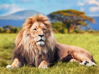 Poster Leeuw Big lion lying on savannah grass. Kenya, Africa