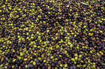 Spoed Foto op Canvas Olijfboom olive verdi e nere in un frantoio