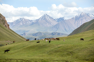 Fototapete - Group of farm animals pasturing in mountains