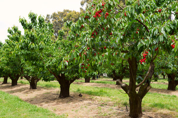 Cherry trees in garden