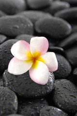 Frangipani flowers on black wet pebbles