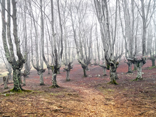 Wall Mural - gloomy forest with scary trees