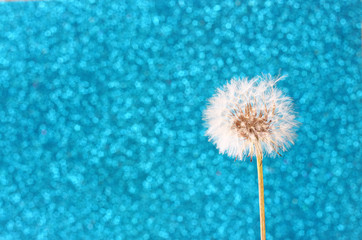 Dandelion with glittering blue background