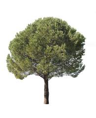Isolated pine-tree