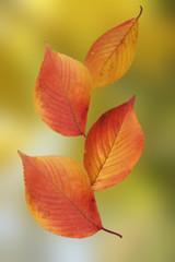 落ち葉/桜