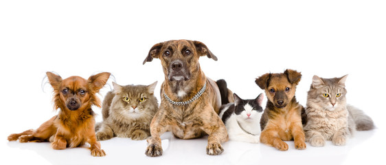 Group of cats and dogs lying in front.  isolated