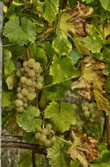 vineyard of Riquewihr in Alsace