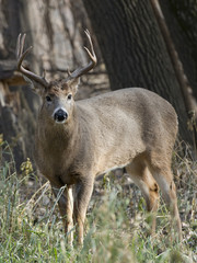 Wall Mural - Large Whtetail Deer