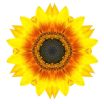 Yellow Concentric Sunflower Flower Isolated on White. Mandala