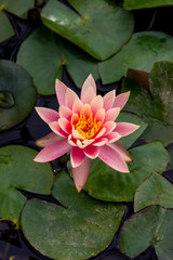 water lily 2