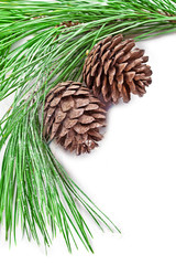 fir tree branch with pine cones