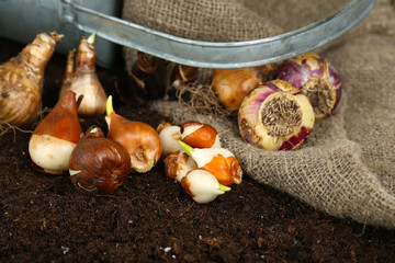 Composition with watering can, sackcloth and flower bulbs