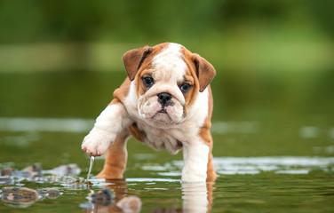 English bulldog puppy in the water Wall mural