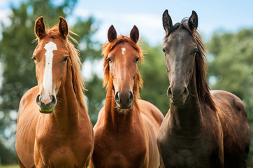 Spoed Foto op Canvas Paarden Group of three young horses on the pasture