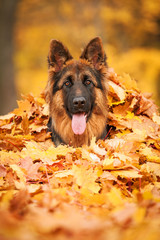 Portrait of german shepherd dog lying in leaves