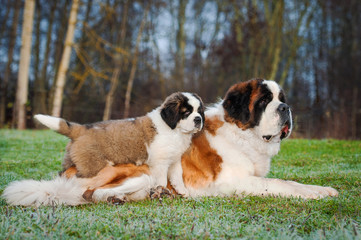 Fototapete - Adult and young saint bernard dogs