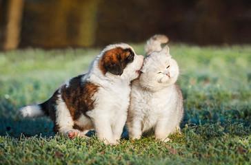 Fototapete - Saint bernard puppy playing with british shorthair cat