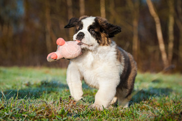 Fototapete - Saint bernard puppy playing with soft toy