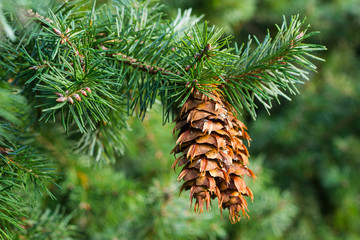 Douglas fir branch with cones