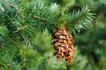 Fototapeta Douglas fir branch with cones obraz