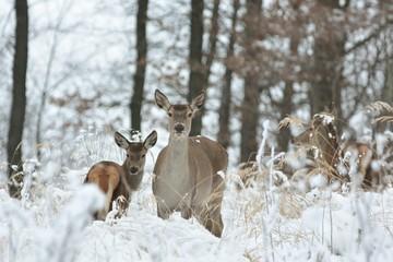Deurstickers Ree Roe deer with his offspring in winter scenery